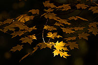 At Arbor Day Lodge State Park in Nebraska City, oak leaves, golden from the advance of autumn, reach for the last bit of evening light. - Nebraska Photograph