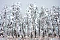 Hoarfrost creates a silvery outline on the branches of cottonwoods at Boyer Chute National Wildlife Refuge, Nebraska. - Nebraska Photograph