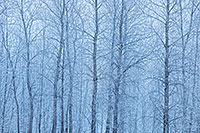 Hoarfrost clings to a stand of cottonwoods at Boyer Chute National Wildlife Refuge, Nebraska. - Nebraska Photograph