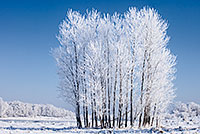 On a cold February morning after the fog cleared, hoarfrost clung to a stand of cottonwoods at Chalco Hills Recreation Area. - Nebraska Landscape Photograph