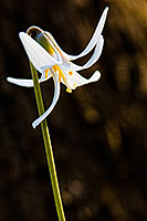 A White Fawn Lily sprouts quietly from the forest floor at Platte River State Park. - Nebraska Photograph