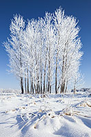 Hoarfrost clings to a stand of cottonwoods at Chalco Hills Recreation Area on a cold February morning. - Nebraska Photograph
