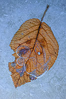 A fallen leaf from autumn, trapped beneath the frozen ice. - Nebraska Photograph