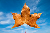 A singular autumn leaf against the vibrant blue sky. - Iowa Photograph