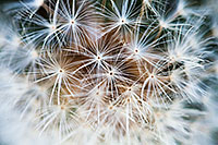 A close-up view of a dandelion that had gone to seed in the autumn. - The_Midwest Photograph