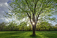 On a cool spring evening the sun shines through a budding maple tree at Two Rivers State Recreation Area. - Nebraska Photograph