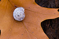 A snail shell rests on a leaf at the bottom of the forest at Fontenelle Forest in eastern Nebraska. - Nebraska Close-Up Photograph