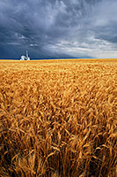 On a warm summer evening, storm clouds gather over a field of wheat in eastern Nebraska. - Nebraska Photograph
