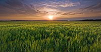 The natural beauty of an endless field of wheat glowing with a golden yello as the sun touches the distant horizon at DeSoto National Wildlife Refuge.   - Nebraska Photograph
