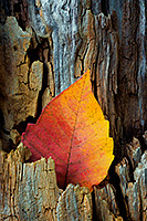 A leaf turned yellow and red in the autumn season is nestled in a old tree stump at DeSoto National Wildlife Refuge in eastern Nebraska.  It almost looked as though a flame was creeping up the side of the old wood. - Nebraska Nature Photograph