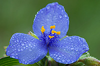 Drops of rain cling to a spiderwort at Ash Hollow State Historical Park in western Nebraska.  Spiderworts bloom only opens for one day. - Nebraska Photograph