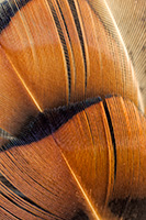 Pheasant feathers glow in the afternoon sun at Niobrara State Park, Nebraska. - Nebraska Photograph