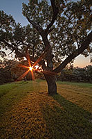 On a warm summer evening, the setting sun shines through a large Burr Oak at Eugene T. Mahoney State Park.  - Nebraska Photograph