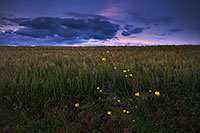 On the edge of a field near Omaha, the yellow flowers of a tall hedge mustard contrast with the dark clouds of an advancing summer storm. - Nebraska Photograph