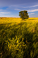 A field of clover reaches across the Badlands covering the landscape with an intense yellow hue. - South Dakota Landscape Photograph