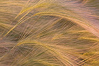 An intimate photograph of a group of foxtails. - Nebraska Photograph