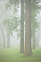 Cottonwoods stand tall in the foggy mist. - Iowa Photograph