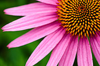 A coneflower blooms at the OPPD Arboretum in eastern Nebraska. - Nebraska Flower Photograph