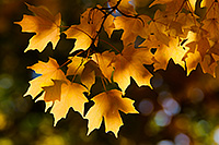 Late afternoon sunlight illuminates autumn maple leaves at Arbor Day Lodge State Park in Nebraska City, Nebraska. - Nebraska Nature Photograph