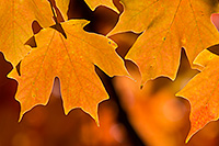 Autumn maple leaves are illuminated by the late afternoon sun at Arbor Day Lodge State Park in Nebraska City, Nebraska. - Nebraska Nature Photograph