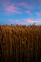 Pink clouds float lazily above a wheatfield at sunset in eastern Nebraska. - Nebraska Nature Photograph