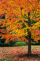 An maple tree turns fiery red and orange in the Autumn at Arbor Day Lodge State Park in Nebraska City, Nebraska. - Nebraska Photograph
