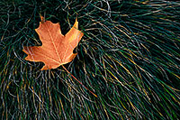 The last autumn leaf to fall at the OPPD Arboretum rests in a bed of grass. - Nebraska Photograph