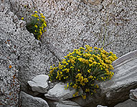 Rabbitbush grows in the cracks and between the crevices of rocks at Toadstool Geologic Park near Crawford. - Nebraska Photograph