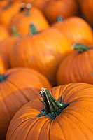 At a Nebraska orchard, an array of pumpkins signal the arrival of autumn. - Nebraska Photograph