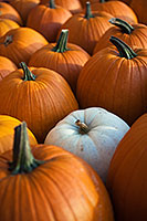 At a Nebraska orchard, a single white pumpkin among the vibrant orange. - Nebraska Photograph