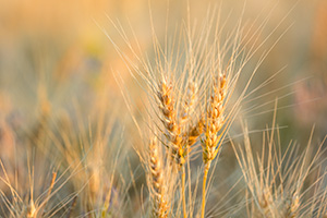 A macro photograph of wheat glowing in the late afternoon sun in the panhandle of Nebraska. - Nebraska Nature Photograph