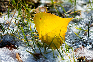 A Nebraska photograph a cottonwood leaf in snow at Fort Robinson State Park in northwestern Nebraska. - Nebraska Photograph
