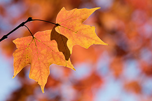 Two leaves on a maple tree turn a fiery orange in the autumn at Arbor Day Lodge State Park in Nebraska City, Nebraska. - Nebraska Nature Photograph