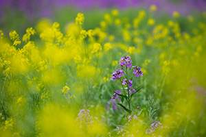 A scenic photograph of yellow and lavendar flowers at Schramm State Recreation Area in eastern Nebraska. - Nebraska Photograph