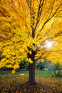 A maple tree transitions to an autumn golden hue as the sun sets behind it at Arbor Day Lodge State Park in Nebraska City, Nebraska. - Nebraska Nature Photograph