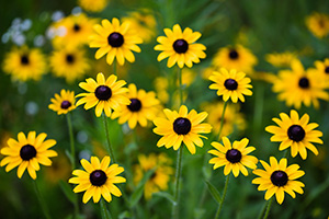 Black-eyed Susans bloom on a warm summer day at Platte River State Park in eastern Nebraska. - Nebraska Landscape Photograph