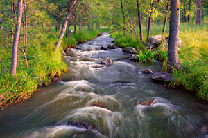 Grace Coolidge Stream through the forest in Custer State Park of the Black Hills, South Dakota. - South Dakota Photograph
