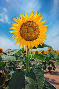 A nature photograph of a sunflower in rural South Dakota. - South Dakota Photograph