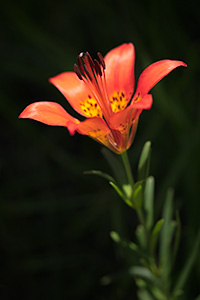 A macro photograph of a wild lily growing on a hill in Wind Cave National Park, South Dakota. - South Dakota Photograph