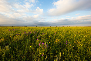 A field of wildflowers is illuminated by the warm setting sun on the prairie landscape at Wind Cave National Park. - South Dakota Photograph