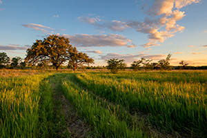 A scenic landscape photograph of an old country road with two Oak trees in a prairie in eastern Nebraska. - Nebraska Landscape Photograph