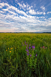 A scenic photograph of wildflowers on a prairie field in Wind Cave National Park in South Dakota at sunrise. - South Dakota Photograph