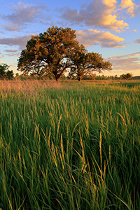 Burr oak trees and grass under clouds on an eastern Nebraska prairie at sunset. - Nebraska Landscape Photograph