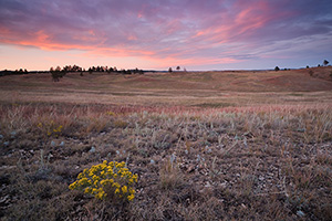 At Wind Cave National Park in South Dakota a lone rabbitbush stands sentinel upon the prairie while the bottoms of the clouds are touched with a pink highlight from the setting sun dipping below the horizon in the west. - South Dakota Photograph