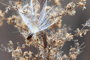 A milkweed seedling is captured on a autumn day near the Missouri River. - Nebraska Photograph