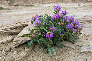 Milk Vetch grows in a seemingly inhospitable landscape of Toadstool Geologic Park in Western Nebraska. - Nebraska Photograph