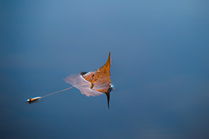 A fallen autumn leaf floats on the calm surface of Wehrspann Lake at Chalco Hills Recreation Area. - Nebraska Close-Up Photograph