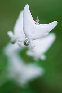 Dutchman's Breeches spring from the forest floor of Schramm State Recreation Area in late April. - Nebraska Photograph