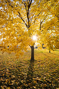 The sun shines through the branches of a maple whose leaves recently turned bright yellow at Branched Oak Lake State Recreation Area in Lancaster County, Nebraska. - Nebraska Photograph