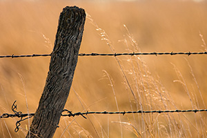 A barbed wire fence is surrounded by prairie grass in Hall County just south of Grand Island, Nebraska. - Nebraska Photograph